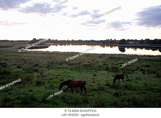 Horses at the Ornumer Noor, a branch of the Schlei, Schlei, Schleswig-Holstein, Germany, Europe