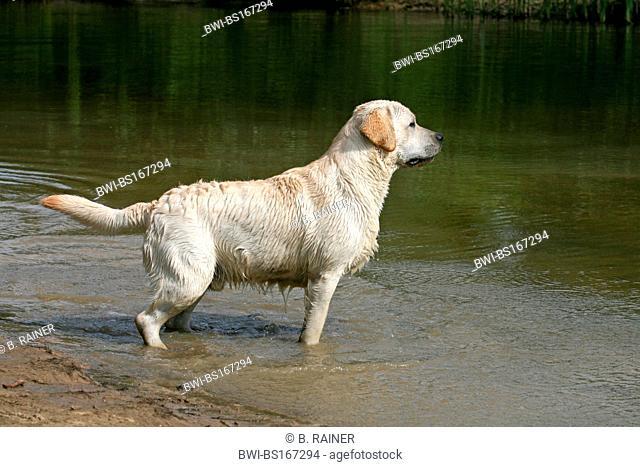 Labrador Retriever (Canis lupus f. familiaris), standing at the shore, wet