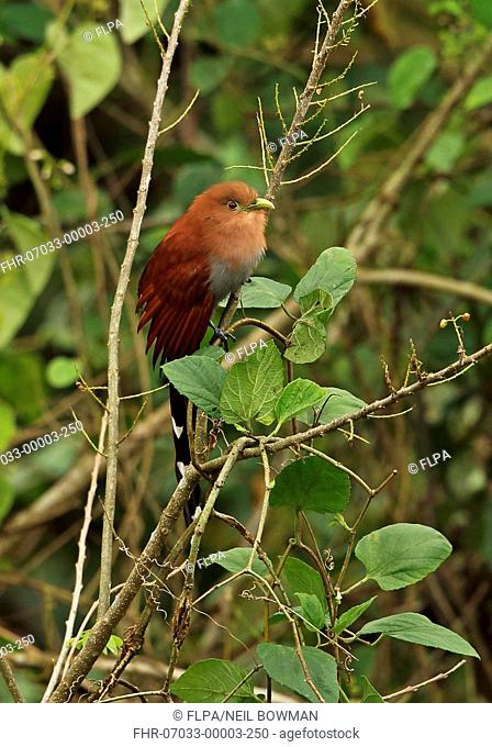 Squirrel Cuckoo (Piaya cayana thermophila) adult, perched on branch, Panacam, Honduras, February