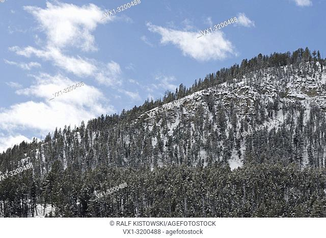 Wood covered mountainside / hillside in winter, mountain forest, montane forest, haunt for a lot of animals, under blue sky in Yellowstone National Park