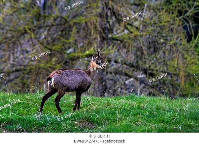 chamois (Rupicapra rupicapra), standing in a meadow, side view, Switzerland, Grisons, Engadine