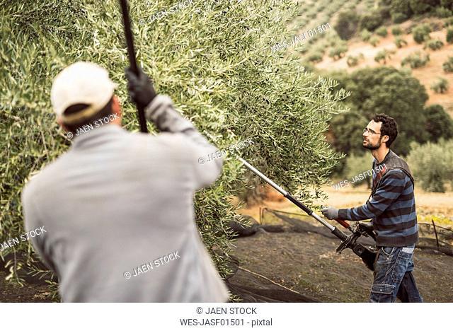 Spain, man using vibrator for olive harvest