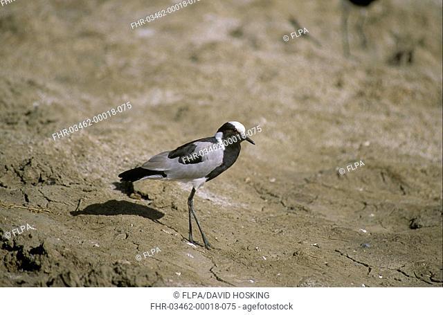 Plover - Blacksmith Vanellus armatus