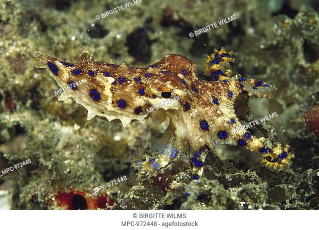 Blue-ringed Octopus Hapalochlaena sp, only a few inches long and poison is deadly but they are not aggressive, New Guinea