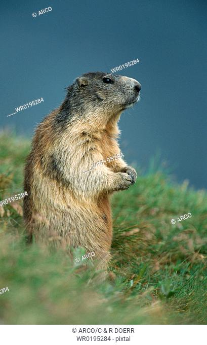 Alpine, Marmot
