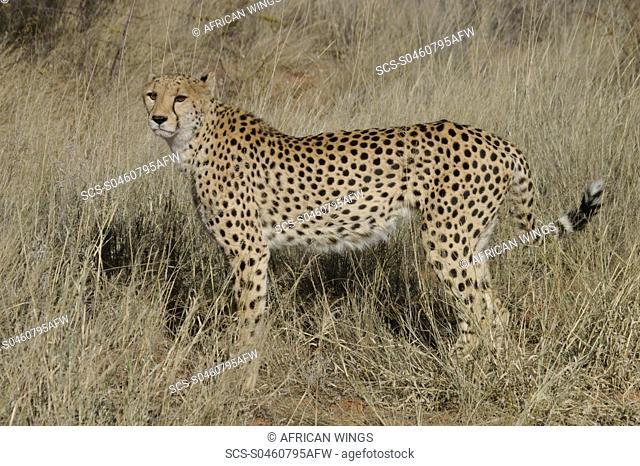 Cheetah Okonjima, Namibia
