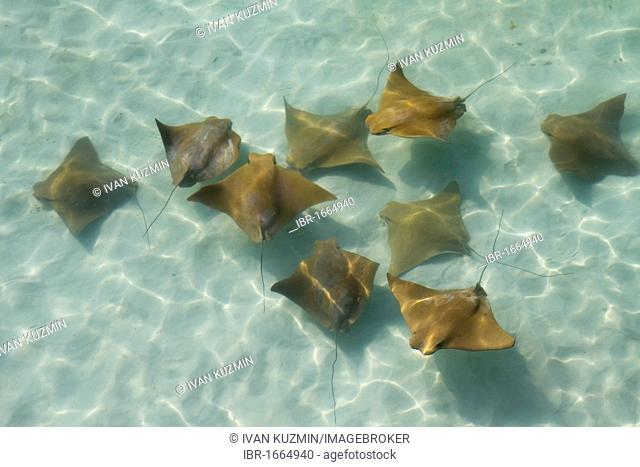 A run of the common eagle rays (Myliobatis aquila), in shallow water near the Golf of Mexico coast, Florida, USA