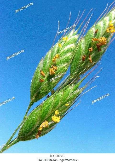 soft chess, soft-brome (Bromus hordeaceus), blooming spikelets against blue sky, Germany