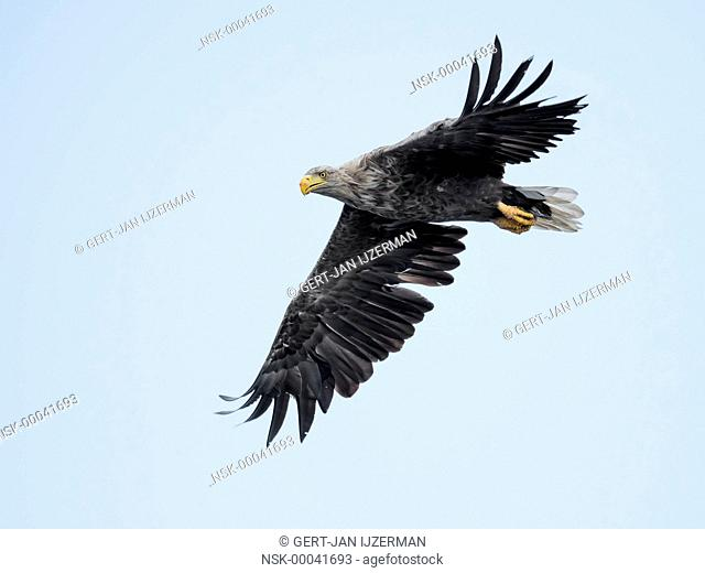 White-tailed Eagle (Haliaeetus albicilla) in flight against blue sky, Poland, Stepnica, Oder