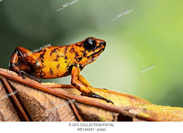 Little-devil poison frog (Oophaga sylvatica), Choco rainforest, Canande River Reserve, Choco forest, Ecuador.