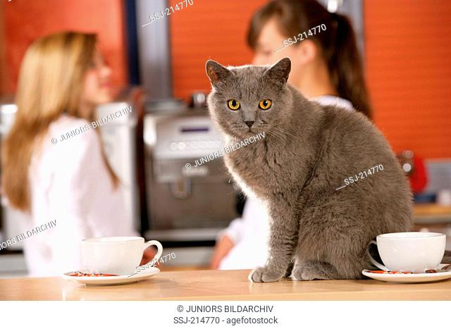 British Shorthair. Blue adult sitting on a dining table. Germany