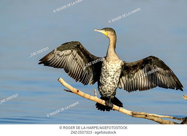 Reed cormorant (Microcarbo africanus). Lake Naivasha. Naivasha. Great Rift Valley. Kenya