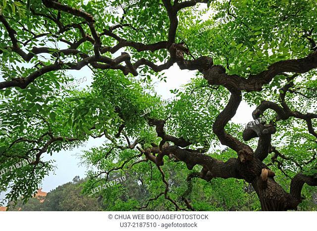 Tree. Beijing