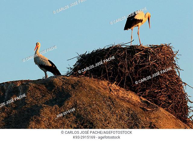 White storks (Ciconia ciconia). Barruecos de Cáceres, Extremadura, Spain