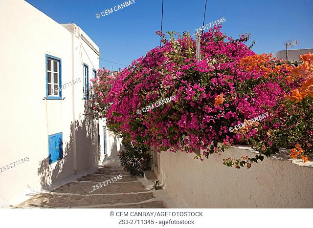 Alley with bougainvilleas in the port town Katapola, Amorgos, Cyclades Islands, Greek Islands, Greece, Europe