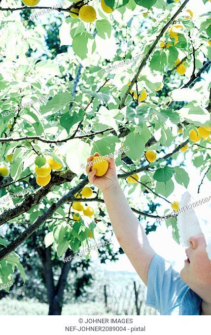 Girl picking plum