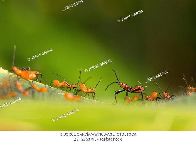 Cluster of newly hatched assassin bug nymphs. Tolima, Colombia