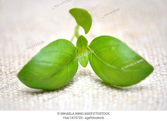Close-up of fresh basil leaves
