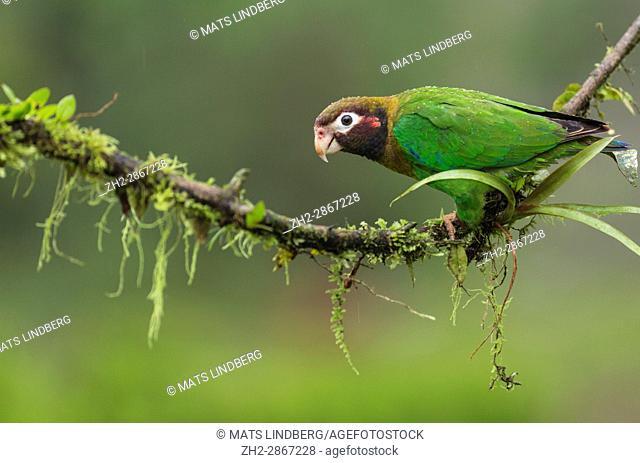 Brown-hooded parrot, Pyrilia haematotis, sitting in a tree at Laguna del Lagarto, Boca Tapada, San Carlos, Costa Rica