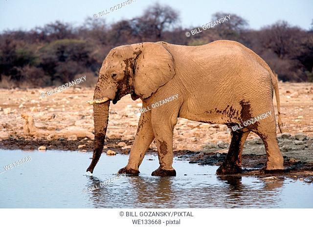 African Elephant (Loxodonta africana) at Klein Namutoni Waterhole - Etosha National Park - Namibia, Africa