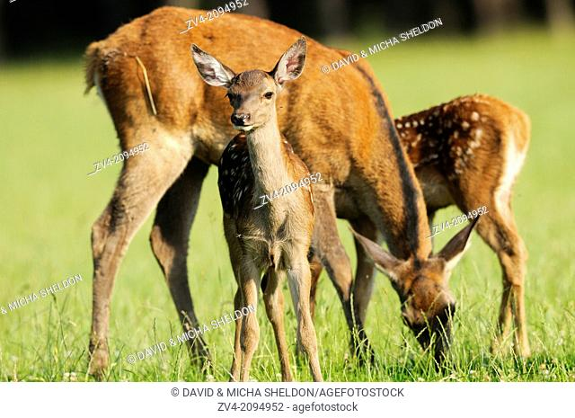 Close-up of a red deer (Cervus elaphus) calf with his mother on a meadow