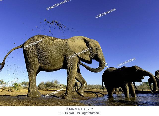 African elephants (Loxodonta africana) cooling off at watering hole, Mashatu game reserve, Botswana, Africa
