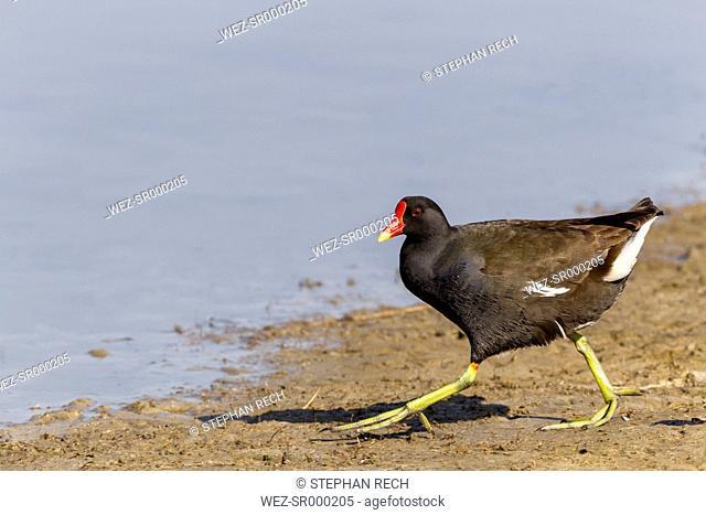 Germany, Schleswig Holstein, Moorhen bird perching on sand