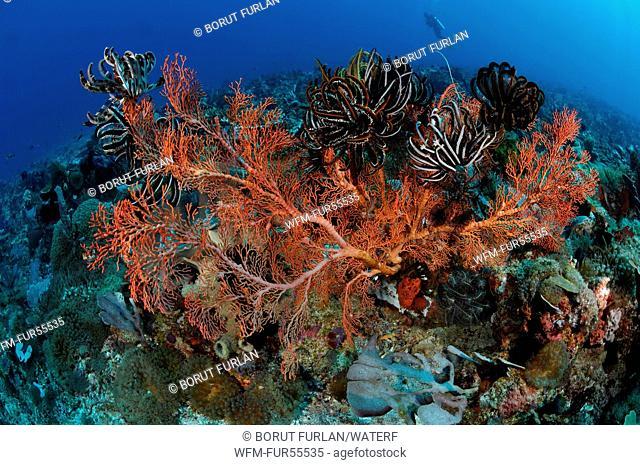Indopacific Coral Reef, Alor, Indonesia