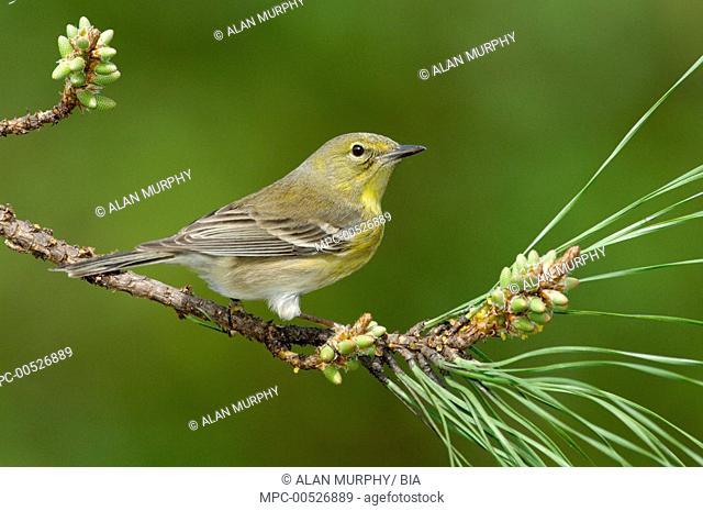 Pine Warbler (Setophaga pinus), Texas