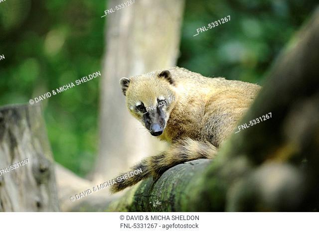 South American Coati Nasua nasua, Augsburg Zoo, Bavaria, Germany