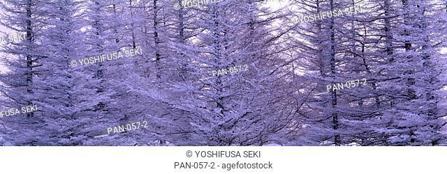 Frosted Trees, Utsukushigahara Plateau, Nagano, Japan