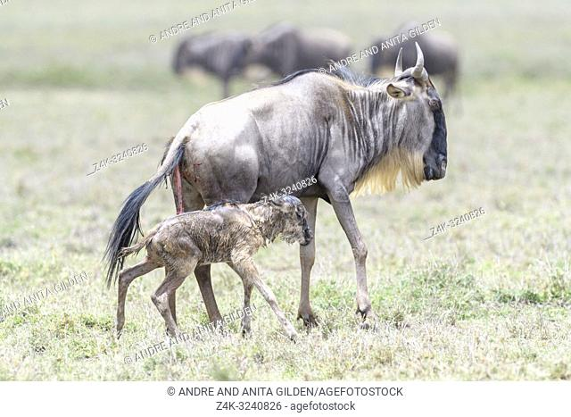Blue Wildebeest (Connochaetes taurinus) mother with a new born calf walking on savanna, Ngorongoro conservation area, Tanzania