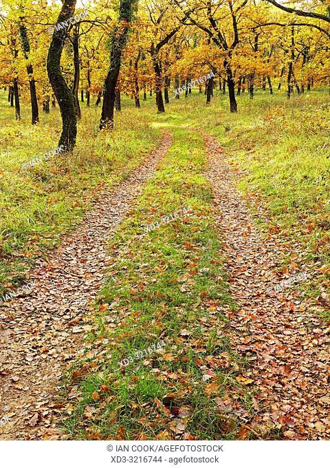 track through Pendunculate Oak, Quercus robur, grove in autumn west of Tournon dâ. . Agenais, Lot-et-Garonne Department, Nouvelle Aquitaine, France