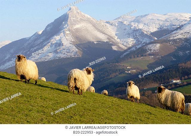 Sheep, Monte Txindoki, Sierra de Aralar, Zaldibia, Guipúzcoa, Spain