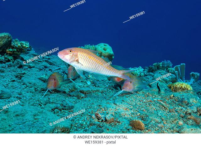 group of Cinnabar Goatfish (Parupeneus heptacanthus)