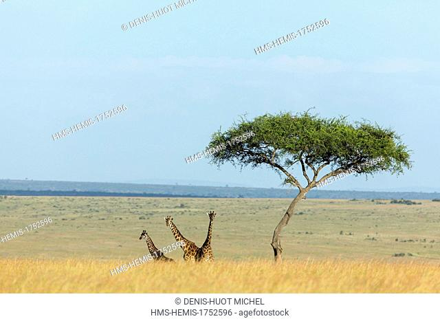 Kenya, Masai-Mara Game Reserve, Girafe masai (Giraffa camelopardalis), group