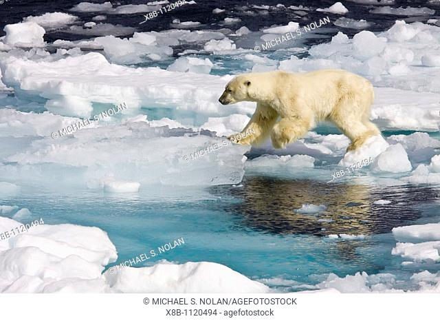 A curious adult polar bear Ursus maritimus approaches the National Geographic Explorer in the Barents Sea off the eastern coast of Edge¯ya Edge Island in the...