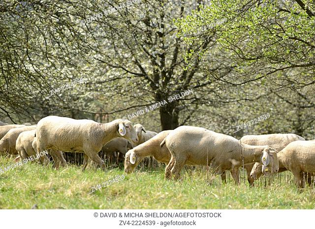 Close-up of a herd of house-sheep (Ovis aries) in a fruit grove in spring
