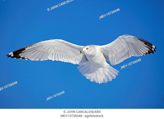 Ring-billed Gull - adult soaring in flight (Larus delawarensis)