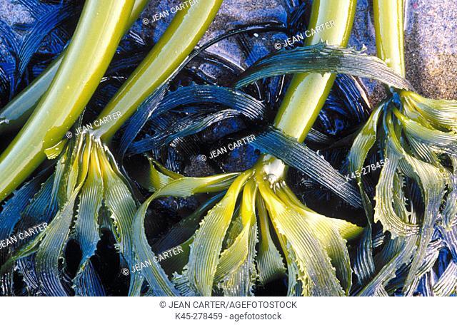 Bull kelp (Nereocystis luetkeana) on beach. Bandon. Southern Oregon Coast. USA