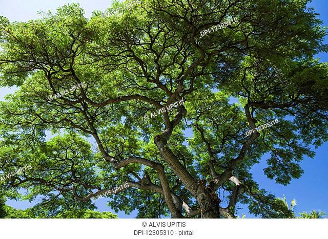 Upward view of monkey pod tree canopy (Samanea saman); Hawaii, United States of America