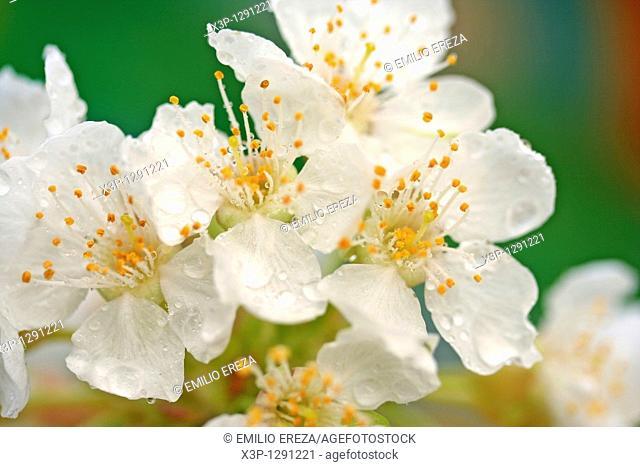 Dew on cherry tree flowers Prunus dulcis or communis