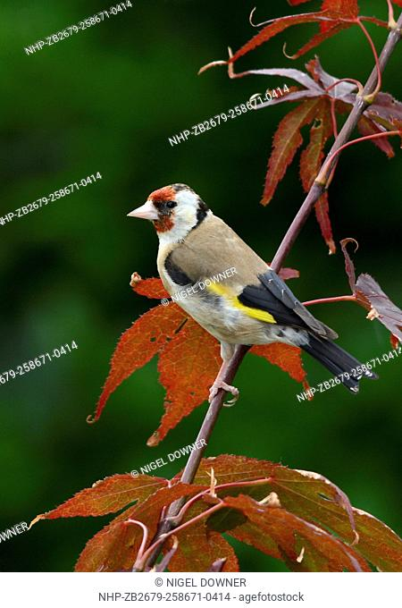 A European Goldfinch (Carduelis carduelis) perched on a shrub in a Norfolk garden in summer
