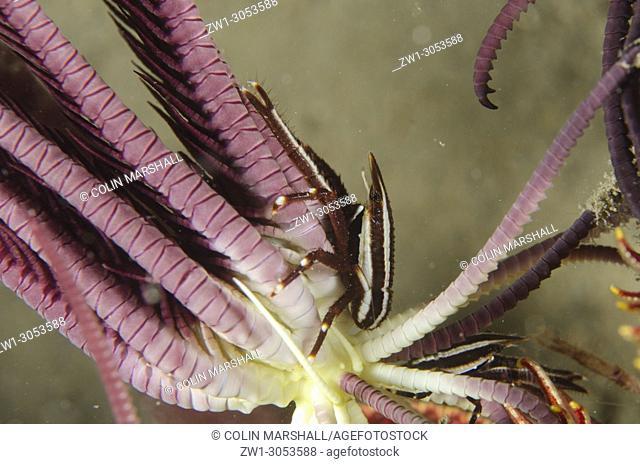 Striped Squat Lobster (Allogalathea elegans) on Crinoid (Crinoidea family), Night dive, Tasi Tolu dive site, Dili, East Timor (Timor Leste)