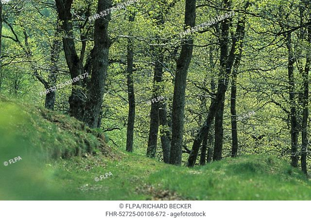Deciduous forest, Sessile Oak Quercus petraea woodland in early spring, Woodlands Trust Wood, Powys, Wales