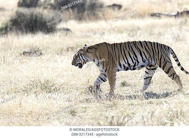 Afrique du Sud, Réserve privée, Tigre du Bengale (Panthera tigris tigris), adulte marchant / South Africa, Private reserve