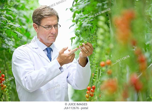Focused food scientist examining vine tomato plants in greenhouse