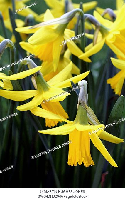 NARCISSUS 'FEBRUARY GOLD' AGM