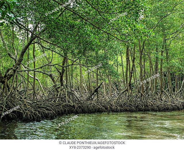 Mangrove, Los Haitises National Park, Dominican republic