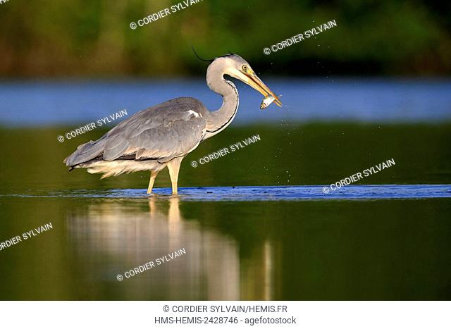 France, Ain, Dombes, Grey Heron (Ardea cinerea), adult catching a fish